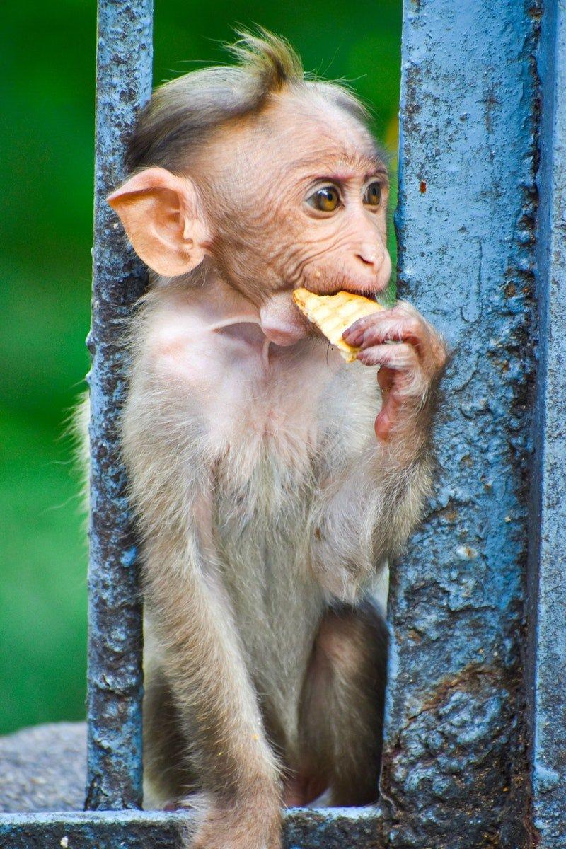 Ein essender Affe