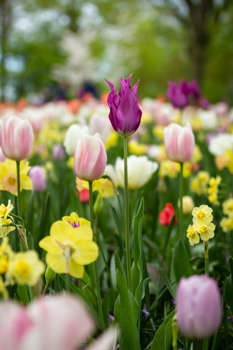 Beet von Tulpen und Blumen