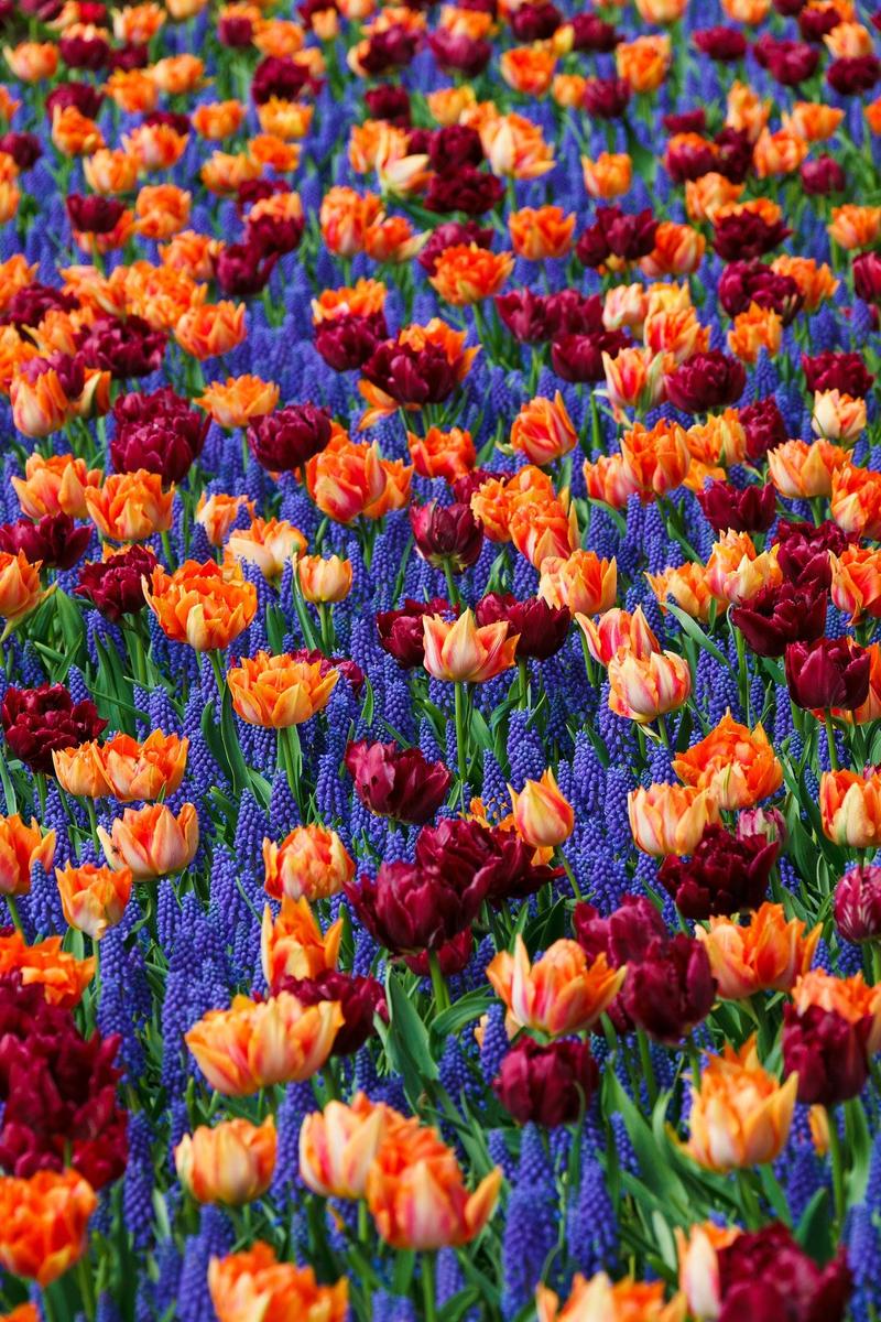 Blumenfeld aus Tulpen