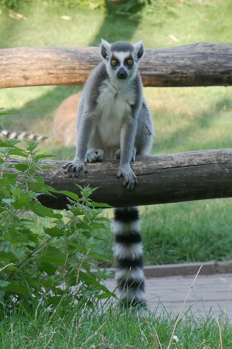 Lemur auf Holzbalken